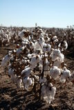 Cotton In Field. Cotton growing in harsh drought conditions in Texas Stock Image