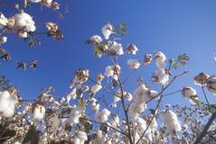 Cotton field. In Tucson Arizona Royalty Free Stock Photos