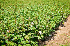 Cotton Field. A field of cotton ripening on the plant Stock Photo