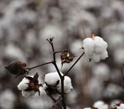 Cotton in field. Harvest stage of cotton in field Royalty Free Stock Images