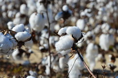 Cotton in the field Stock Photography