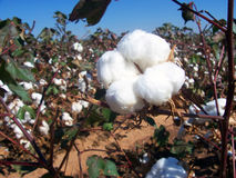 Cotton Field. Cotton plants just before fall harvest Stock Photography
