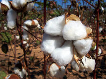 Cotton Field. Cotton plants just before fall harvest Stock Photos