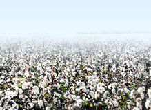Cotton field. A landscape photo of Cotton field with copy space area Stock Photos