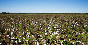 Cotton Field. Ready for harvesting in southern Georgia Stock Photo
