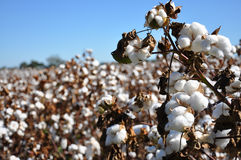 Cotton Field. Cotton in field on farm in Alabama Royalty Free Stock Photo