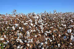 Cotton Field. In Alabama with blue sky Royalty Free Stock Image