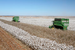Cotton field Royalty Free Stock Photo
