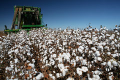 Cotton field. In contrast with blue sky Royalty Free Stock Photography