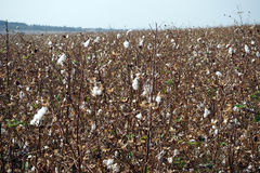 Cotton field stock photography