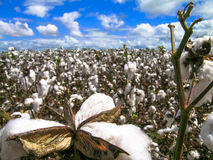 Cotton field. In Bahia state, northwest Brazil Royalty Free Stock Images