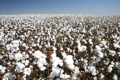 Cotton field. Ball of cotton in contrast with blue sky Royalty Free Stock Photos