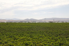 Cotton field being irrigated. In Spain Royalty Free Stock Photos