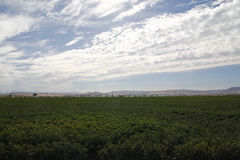 Cotton field being irrigated Stock Images
