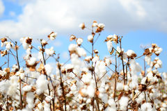 Cotton field. And blue sky Royalty Free Stock Images