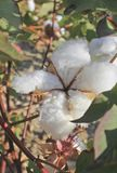 Cotton in a field Royalty Free Stock Images