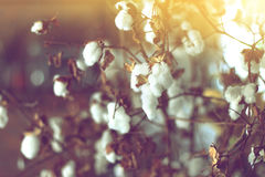 Cotton field, cotton plant flower branch. Royalty Free Stock Photo