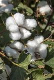 The Cotton Field. Cotton plant Ready to harvest in a cotton field, Cotton ball close up in full bloom - agriculture farm Royalty Free Stock Image