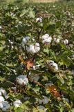 The Cotton Field. Cotton plant Ready to harvest in a cotton field, Cotton ball close up in full bloom - agriculture farm Stock Photos