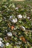 The Cotton Field Stock Photos