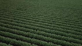 Cotton field in the countryside. Field of cotton in the countrye ready for harvesting stock footage