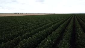 Cotton field in the countryside. Field of cotton in the countrye ready for harvesting stock video