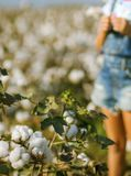 The cotton field in Cukurova Region. The cotton plant is a shrub native to tropical and subtropical regions around the world royalty free stock photo