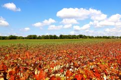 Cotton Field in the deep Tennessee South Royalty Free Stock Photos