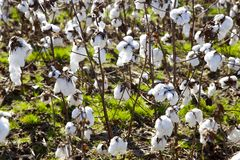 Cotton in a field the deep Tennessee South. A large cotton field with immature cotton bolls growing for harvesting Royalty Free Stock Photo