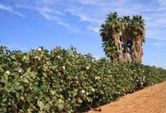 Arizona: Agriculture - Cotton Field in a Desert. A cotton field in the Sonoran Desert of Arizona: In this desert environment the cotton fields have to be Stock Photography