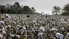 Cotton field in early morning stock photography