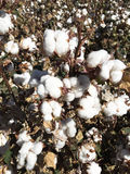 Cotton Field Farm Stock Photography