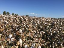 Cotton Field Farm Stock Image