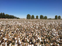 Cotton Field Farm Royalty Free Stock Photos