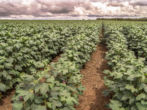 Cotton field. Green cotton field in Brazil with flowers Stock Photos