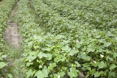 Cotton field growing Royalty Free Stock Image