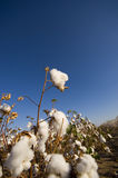 Cotton Field at Harvest Stock Images