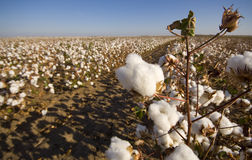 Cotton Field at Harvest. A cotton field ready for harvest with dead plants and nice big boll of cotton Royalty Free Stock Photo