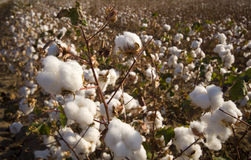 Cotton Field at Harvest Stock Photo