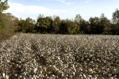 Cotton field before harvest Stock Photography