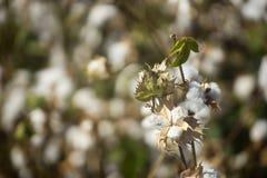 Cotton field Israel Stock Photo