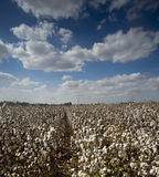 Cotton field Israel Royalty Free Stock Image