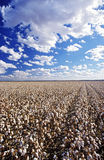 Cotton field Lake Menindee NSW Australia Royalty Free Stock Photography