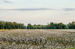 Cotton Field. Royalty Free Stock Image