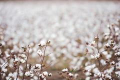 Cotton Field in Oakey Stock Photos