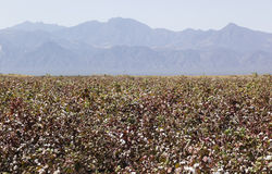 Cotton field. Omo Valley. Ethiopia. Stock Image