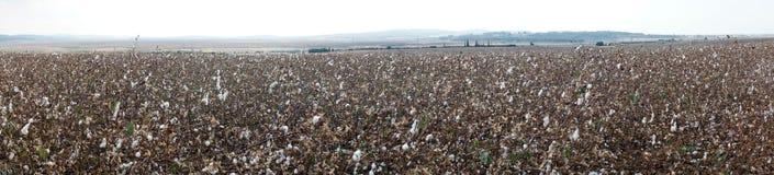 Cotton field royalty free stock photos