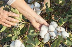 Cotton in the field. A person harvesting cotton in the field Royalty Free Stock Images