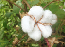 Cotton field royalty free stock image