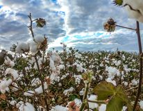 Cotton field plantation texture background. Crop stock photos
